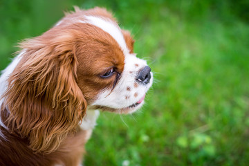 A beautiful little dog breeds a spaniel standing on a green meadow. Horizontal frame