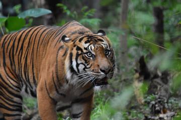 Poster de jardin Tigre Tiger close up 26
