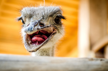 The ostrich opened swarms showing its pink tongue.