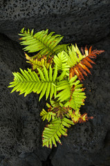 Fern growing amongst volcanic lava