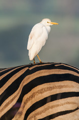 Cattle Egret perched on a zebra