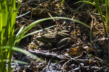 Frosch am Teichufer