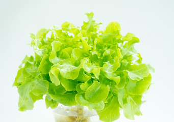 green leaf lettuce for salad on isolated white background