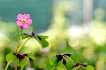 Pink flower of lucky clover