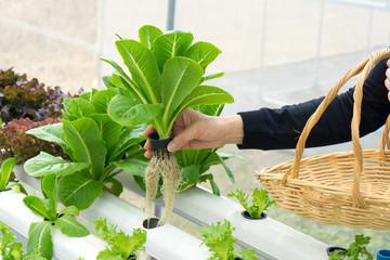 woman hands picking green lettuce into basket in vegetable garden