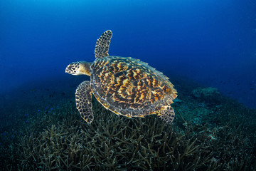Juvenile Hawkbill turtle swimming with more staghorn coral . Losin, Thailand