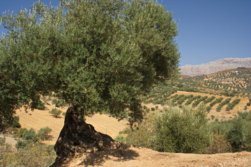 Olivenbaum in Andalusien