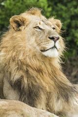 Male lion in the rain