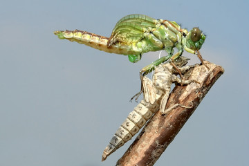 Emergence of Gomphus flavipes, River Clubtail dragonfly