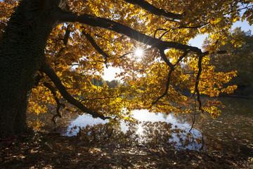 Platane mit Herbstfärbung im Rombergpark, Dortmund, Ruhrgebiet, Nordrhein-Westfalen, Deutschland, Europa