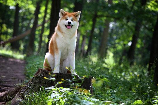 Akita-inu dog. Portrait. Summer forest.