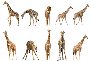 Foto auf Gartenposter Giraffe Set of ten giraffe portraits, isolated on white background