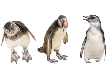 set of three penguins isolated on white background