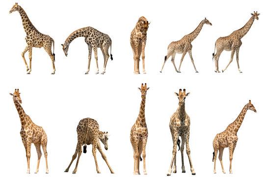 Set of ten giraffe portraits, isolated on white background