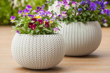 Foto auf Acrylglas Stiefmutterchen beautiful pansy summer flowers in flowerpots in garden