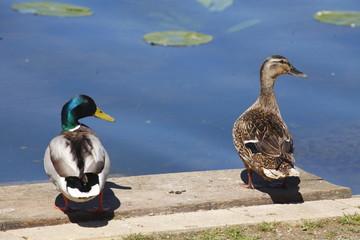 Enten auf einer Uferböschung , Anas platyrhynchos