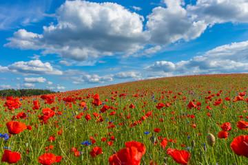 Fototapeta Pole maku, wiosenny krajobraz obraz