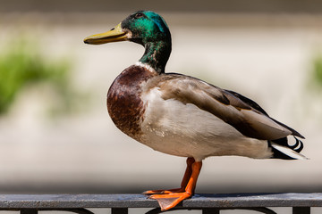 Duck on a metal railing
