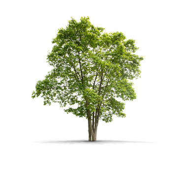 High definition Tree isolated on a white background
