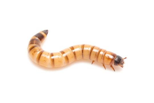 larvae Zophobas morio, superworm, zophobas.