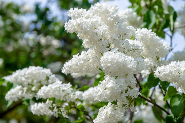 Inflorescence of a white lilac against a blue sky