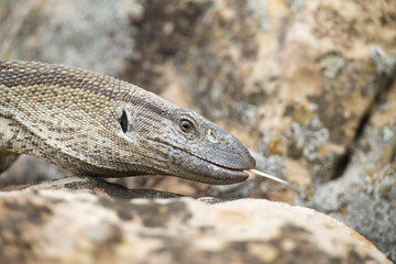 Close-up of a Nile Monitor head walking over rocks