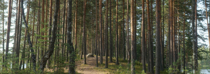 Panorama of pine forest Between two lakes, the path goes into the distance between the straight trunks