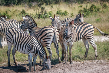 Several Zebras bonding in the grass.