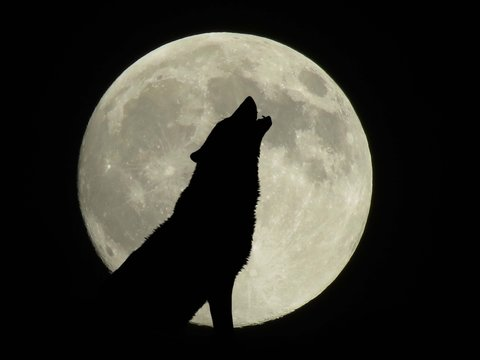 howling wolf at full moon