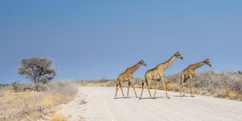 Angolan giraffes (Giraffa camelopardalis) running across the gravel road in savannah of Etosha national park, Namibia.