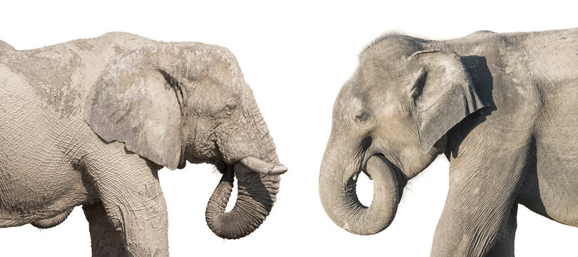 Profile view of an african and asian elephants isolated on white background