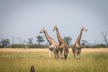 Three Giraffes standing in the grass.