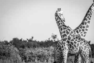 A Giraffe bonding with another one.