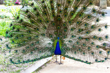 Peacock ordinary with a loose tail
