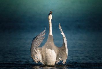 Swan gracefully flapping his wings