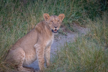 A Lion cub sitting on the road.