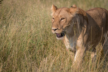 A female Lion walking in the grass.