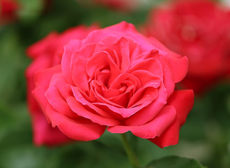 Macro shot of a single bright pink or light red rose in full bloom with petals wide open and a vibrant green and soft white background.
