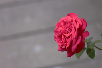 one red rose on blurred gray background