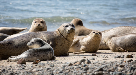 Harbor Seals (Phoca vitulina) Posing in Fitzgerald Marine Reserve, Moss Beach, California,USA. Alert Seals in the pacific coast beaches.