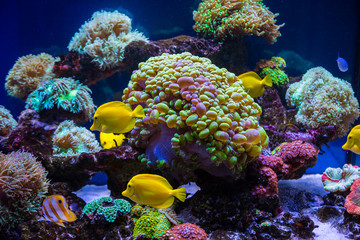 Foto op Plexiglas Onder water Tropical fish butterfly and corals. Beautiful background of the underwater world