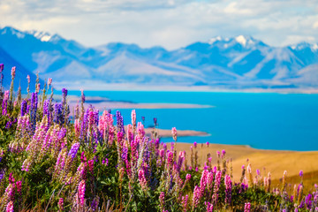 Spoed Fotobehang Blauw Landscape view of Lake Tekapo, flowers and mountains, New Zealand