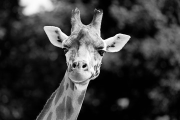 Black and White close-up of a giraffe in front of some trees, looking at the camera as if to say You looking at me? With space for text.