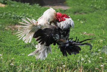 roosters locked in battle taking off waving feathers and wings on the summer farm yard