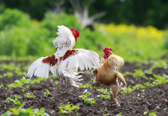 two cocky rooster on the farm are going to fight for the championship