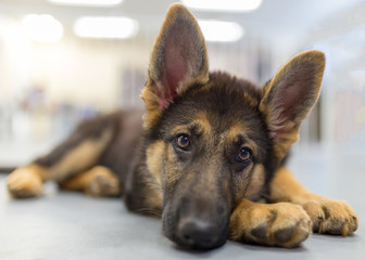 An adorable german shepherd puppy with her head on her paws looking at the camera ever so sweetly