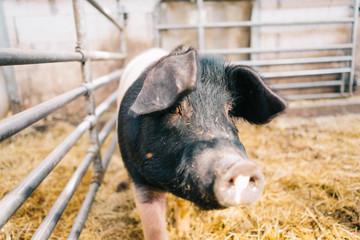 Schwein im Gehege