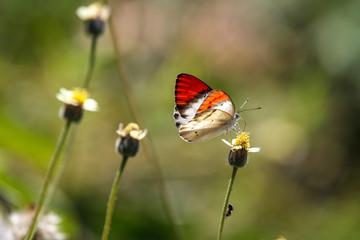 rot-weißer Schmetterling auf Blüte