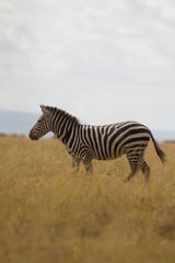 Foto op Canvas Zebra Single Zebra