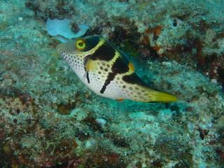 沖縄の海の魚 シマキンチャクフグ